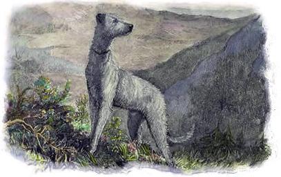 nederlandse deerhound geschiedenis