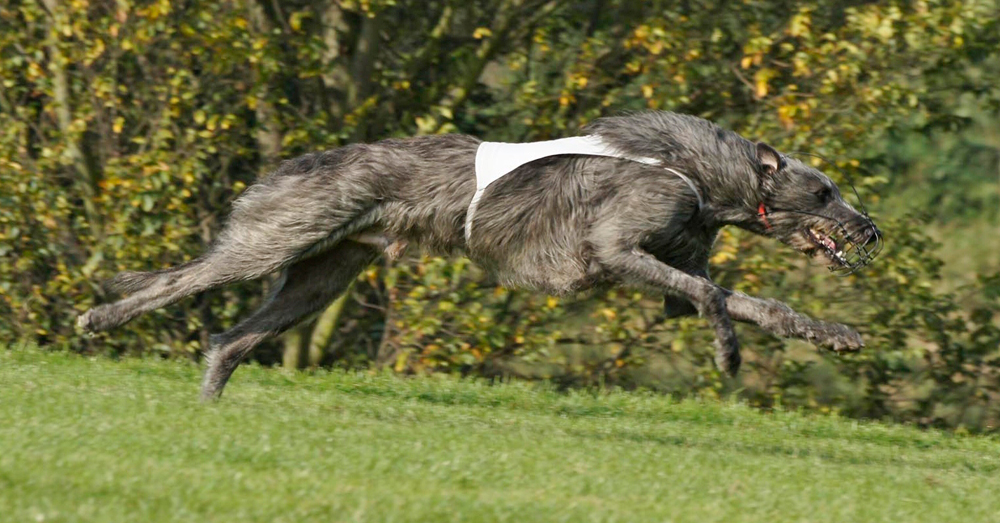 Deerhound_Coursing